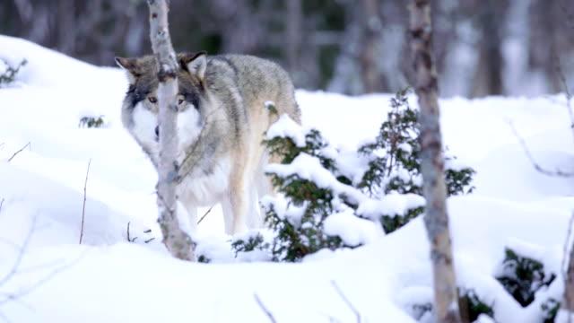 vídeos y material grabado en eventos de stock de territorio de paquete patrulla lobo solitario - peludo