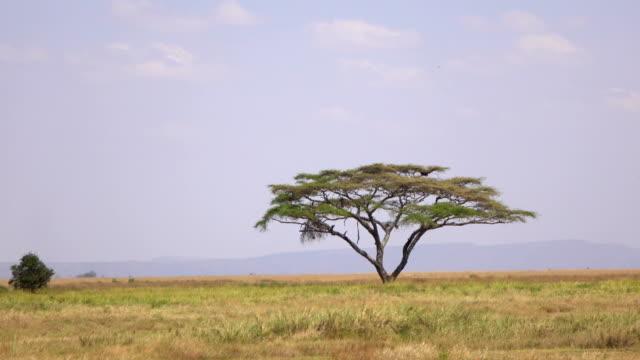 antenne: einsame akazienbaum wächst in der mitte der weiten ebenen der serengeti - afrikanische steppe dürre stock-videos und b-roll-filmmaterial