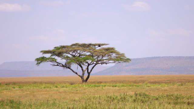 aerial: einsamer akazienbaum wächst inmitten riesiger serengeti-ebenen - afrikanische steppe dürre stock-videos und b-roll-filmmaterial