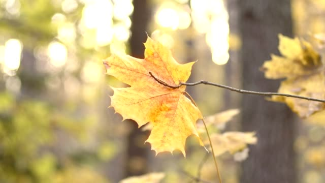 Lonely autumn maple leaf on background of sunlight - video