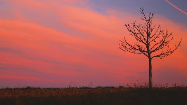 lonely höst träd i ett fält, soluppgång natur bakgrund - single pampas grass bildbanksvideor och videomaterial från bakom kulisserna