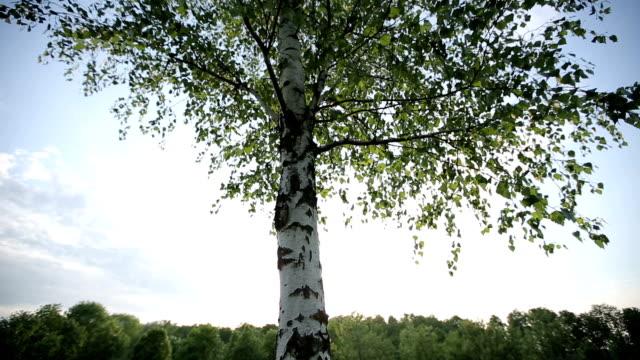Einsam Birke bei Sonnenuntergang. HD-Aufnahme mit Schieberegler – Video