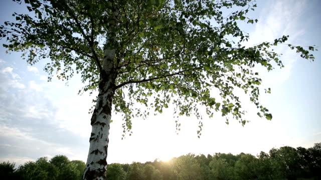 vídeos y material grabado en eventos de stock de lonely abedul en la puesta de sol. toma hd con movimiento - día del trabajo