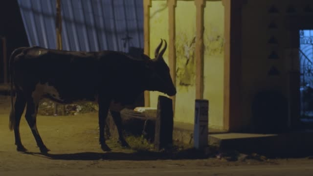 Lonely cow feeding on night indian street on roadside transport moving slow motion. Sacred animal walking in city eating garbage in evening traffic light. Asian culture travel tourism concept