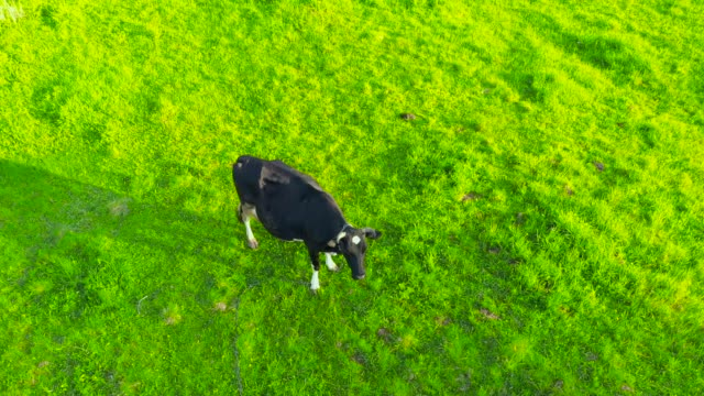 Lonely cow on a green lush grassy meadow in the countryside, aerial top view.