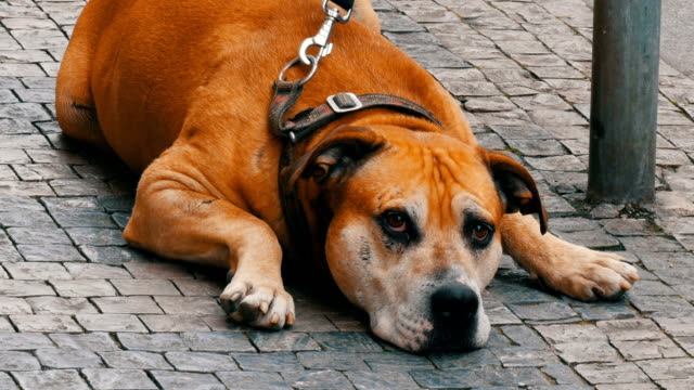 A lonely dog is waiting for its owner. Large dog sits on a leash in the street, passing by the feet of a crowd of people in the street of Prague, Czech Republic video