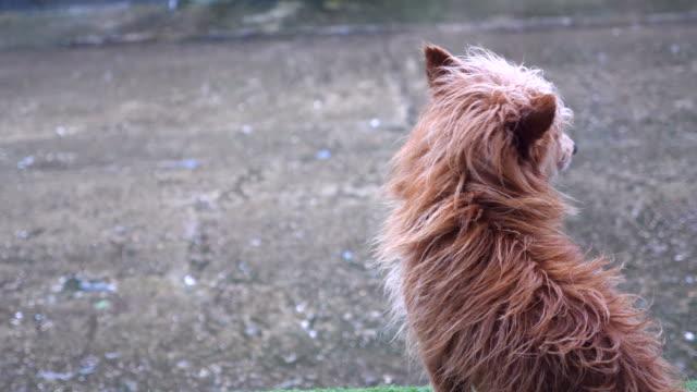 雨が降って停止を待っている孤独な犬 ビデオ