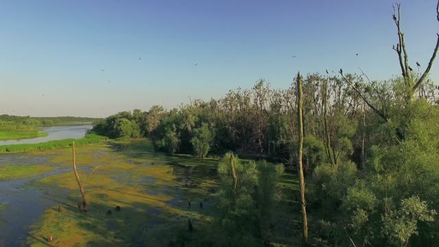 lonely dry tree in the overgrown pond aerial view of dry tree in the overgrown pond, Overgrown landscape of swamp water trees bushes, dead tree in the lake in summer, aerial view of overgrown pond 4K, Flying over the river green trees duckweed stock videos & royalty-free footage