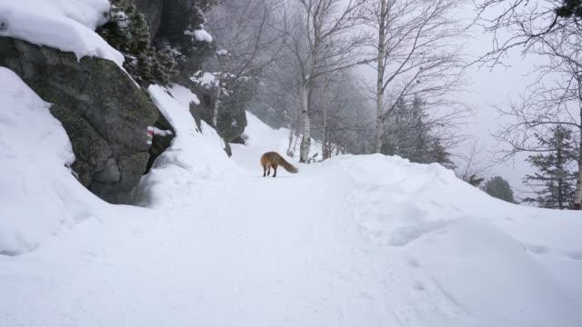 冬に雪の上を歩いて「さびしい狐 - キツネ点の映像素材/bロール