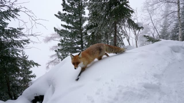 Lonely fox walking on snow in winter video