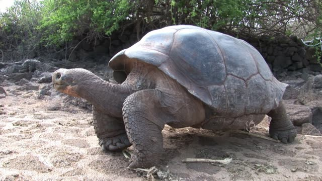 Lonely George is world famous tortoise turtle 400 years old in Galapagos. Lonely George is world famous tortoise turtle 400 years old in Galapagos. Amazing reptiles. Wildlife animals. Nature of Ecuador. Herbivorous inhabitants of ocean. tortoise stock videos & royalty-free footage