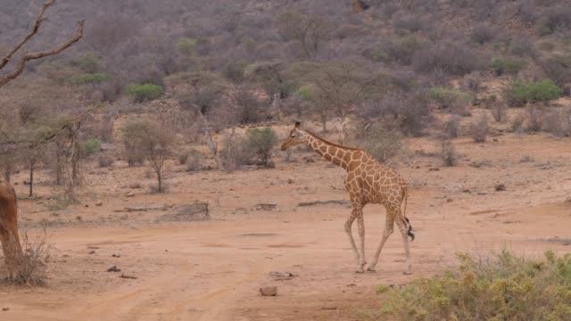 Lonely Giraffe Walking On The Dry Dusty African Savannah, Samburu Kenya 4k video