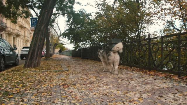cane husky solitario corre senza un proprietario, marciapiede autunnale in città. - cane husky video stock e b–roll