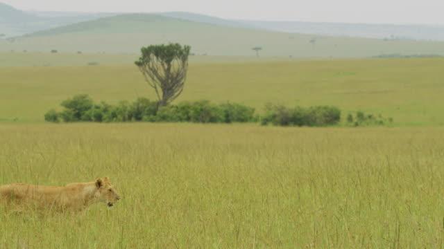 lonely lioness walking in the savanna - równina filmów i materiałów b-roll