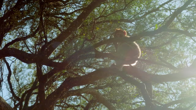 vidéos et rushes de seul petit singe est assis sur la branche du grand arbre sur le rocher de gibraltar au soleil - apprivoisé
