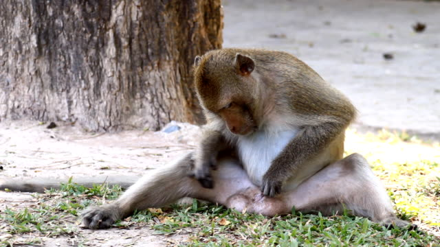 lonely monkey scratches his penis. - penis stok videoları ve detay görüntü çekimi