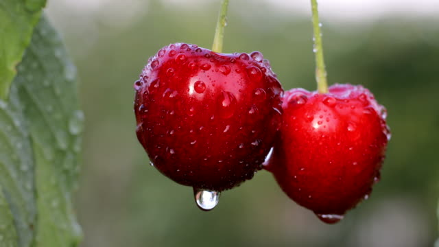 lonely pair of cherries after the rain - data scritta video stock e b–roll