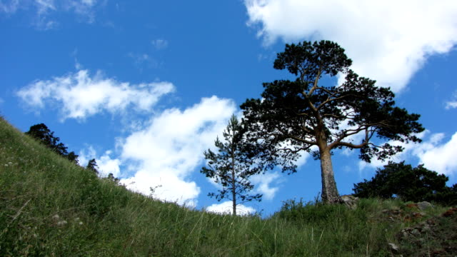 Lonely pine. video