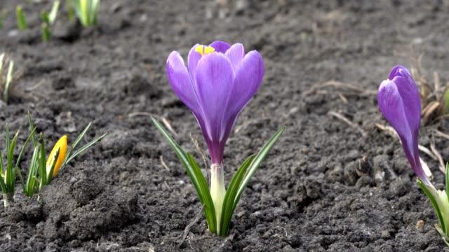 en ensam lila crocus blomma på den kala marken på en blomma säng i en stads park på våren vid solnedgången. närbild. utsikt från mark nivå. 4k. 25 fps. - böngrodd bildbanksvideor och videomaterial från bakom kulisserna