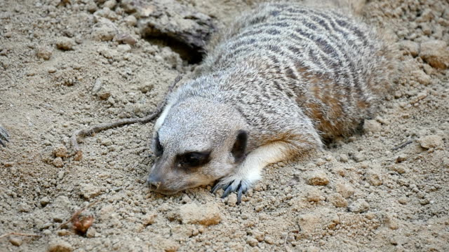 Lonely raccoon lies cautiously near the hole in a rock in some zoo in summer Well disguised gray and white raccoon lies cautiously near the hole in a rock leading to its shelter in some zoo in Eastern Europe on a sunny day in summer. coonhound stock videos & royalty-free footage
