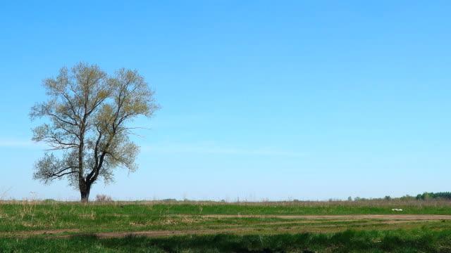 ensamt träd mot en bakgrund av grönt gräs och blå himmel - single pampas grass bildbanksvideor och videomaterial från bakom kulisserna