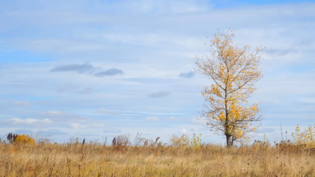 Lonely tree in a field with yellow autumn leaves in the wind video