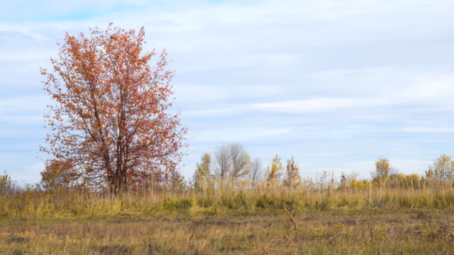 Lonely tree in field with red autumn leaves video
