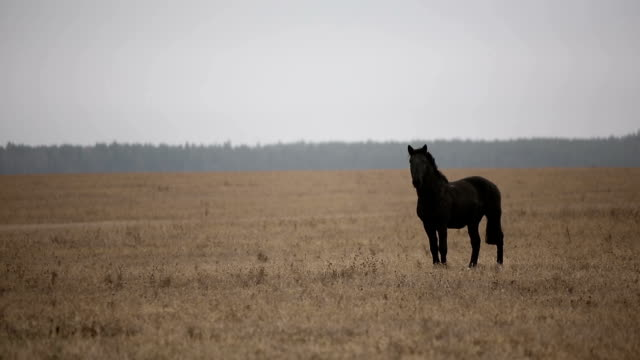 Lonely wounded black horse in an autumn field. Lonely wounded black horse in an autumn field. pasture stock videos & royalty-free footage
