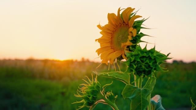 einsame junge sonnenblume wiegen sich im wind im feld gegen sonnenuntergang. - einzelne blume stock-videos und b-roll-filmmaterial