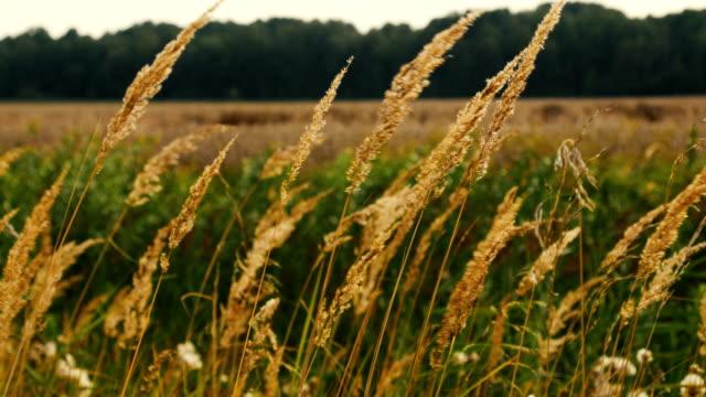 long dry grass swing in wind video