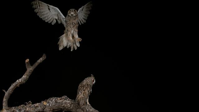 stockvideo's en b-roll-footage met lange-eared owl, asio otus, volwassene in vlucht, normandië in frankrijk, slowmotion 4k - uil