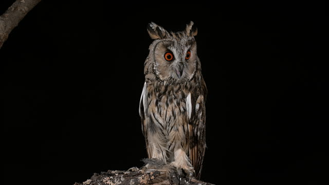 stockvideo's en b-roll-footage met lange-eared owl, asio otus, volwassene, normandië in frankrijk, realtime 4k - uil