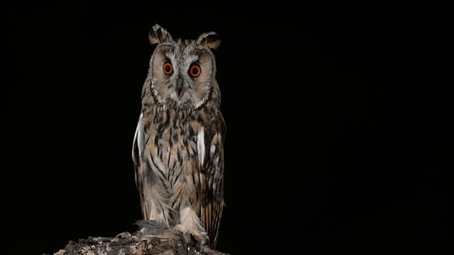 Long Eared Owl, asio otus, Adult, Normandy in France, Real Time 4K Long Eared Owl, asio otus, Adult, Normandy in France, Real Time 4K normandy stock videos & royalty-free footage