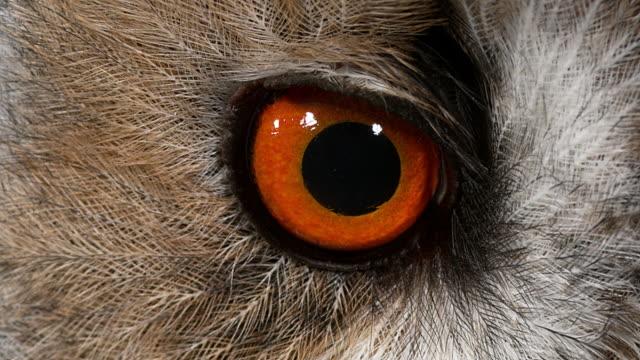 stockvideo's en b-roll-footage met lange eared owl, asio otus, portret van volwassen, close-up van oog, normandië in frankrijk, realtime 4k - uil