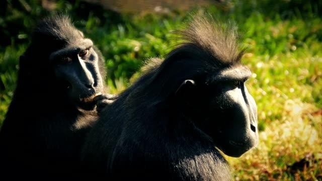 güneşin tadını uzun yüzlü maymunlar - makak maymunu stok videoları ve detay görüntü çekimi