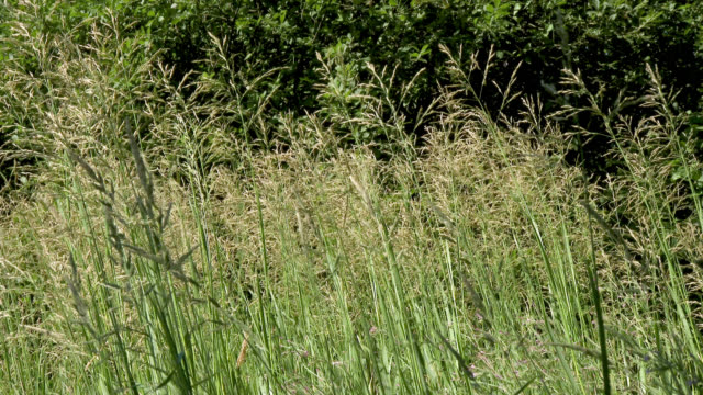 Long grass blowing in the wind Grass and reeds at the edge of a Scottish loch in south west Scotland dumfries and galloway stock videos & royalty-free footage
