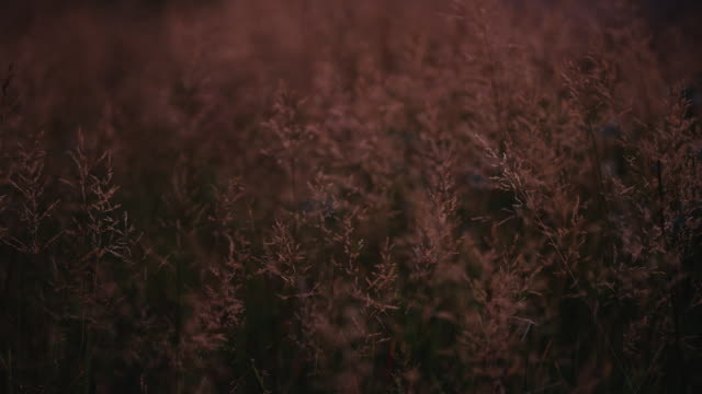 Long grass blows in the wind as the fire red sunset light hits everything in sight. This shot was made to be used as a graphic or logo plate. video
