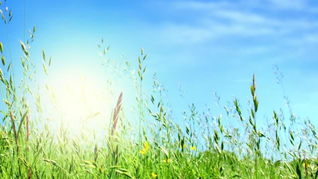 Long grass, Buttercups sunlight and sky.