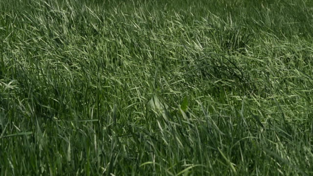 Long Grass in the Wind, Normandy in France, Real Time 4K video