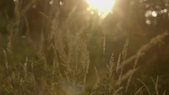 Long grass sunset video