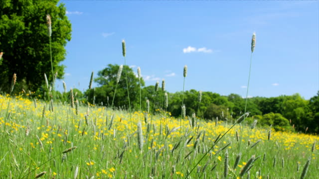 Long grass with seed heads in a meadow blowing in the wind. Close shot of long grass with seed heads in a meadow blowing in the wind, in front of Buttercups and a blue sky. Lockdown. spring stock videos & royalty-free footage
