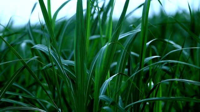 Long leaf sugarcane Long leaf sugarcane field. sugar cane stock videos & royalty-free footage