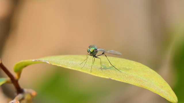 Long legged flies on leaf