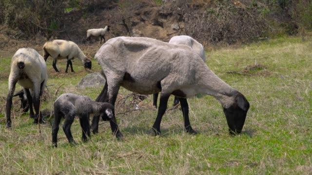 vidéos et rushes de pari risqué. un troupeau de moutons domestiques mignons dans l'herbe de consommation de pré. 4k - sky