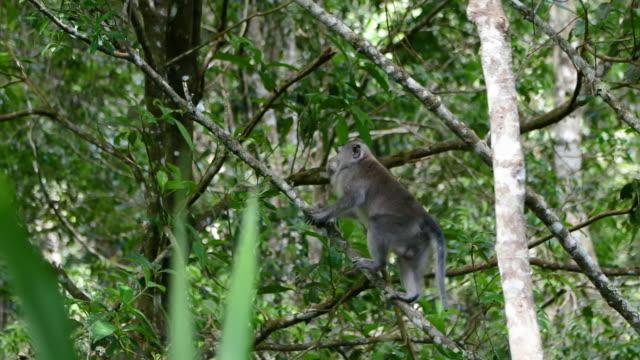 uzun kuyruklu makak başka bir makak aşağıdaki dal tırmanma sonra çerçeve den atlama - makak maymunu stok videoları ve detay görüntü çekimi