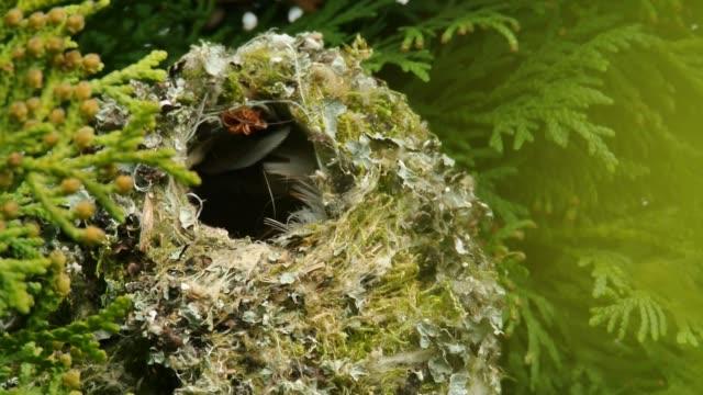 長い尾のティット - エーギタロスカダス大人の鳥は、巣の中で若い雛を供給し、獲物の完全なくちばしで枝に座って - 動物の身体各部点の映像素材/bロール