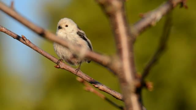 長い尾のティット - エーギタロスカダス大人の鳥は、巣の中で若い雛を供給し、獲物の完全なくちばしで枝に座って - バードウォッチング点の映像素材/bロール