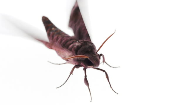 Long tongued hawkmoth on white background video