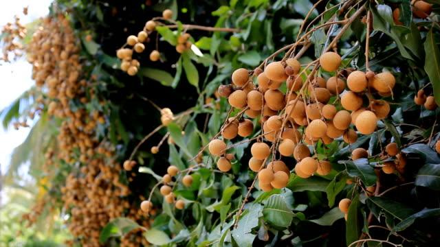 Longan fruit video