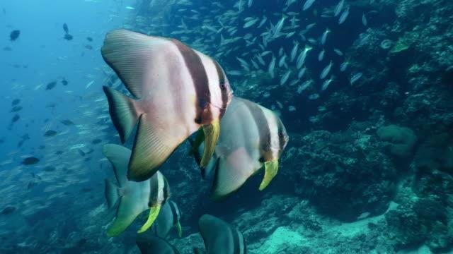 Longfin Spadefish Batfish (Platax teira) Schule von Fischen auf Unterwasser Korallenriff – Video